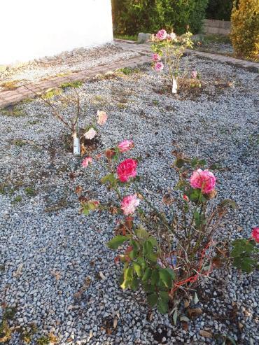 plu les roses de Martine 03sept2019
